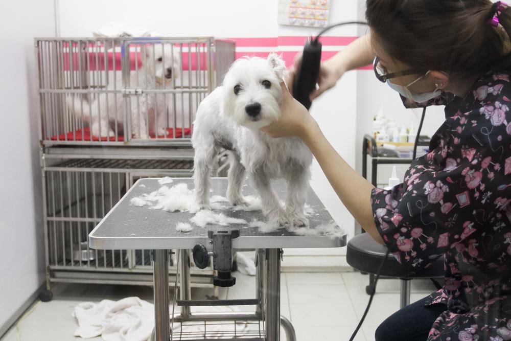 Westie In Cage - Pet Loft Singapore Grooming