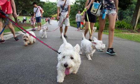 Singapore Westies Outing | Vanillapup