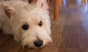 Managing Dog Allergies | Vanillapup