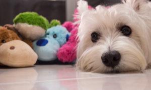 Luxating Patella in Dogs   Vanillapup