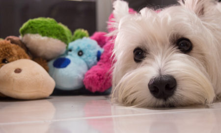 Luxating Patella in Dogs | Vanillapup