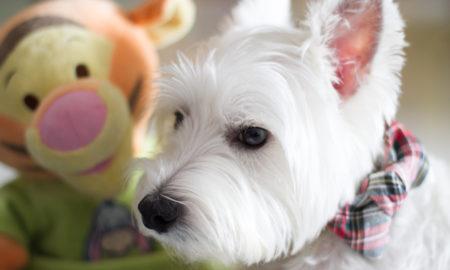 DIY No Sew Dog Collar Bow Tie | vanillapup