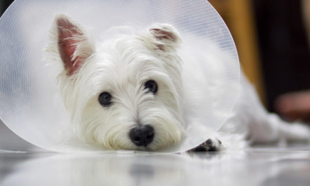 Pet Insurance in Singapore | Vanillapup