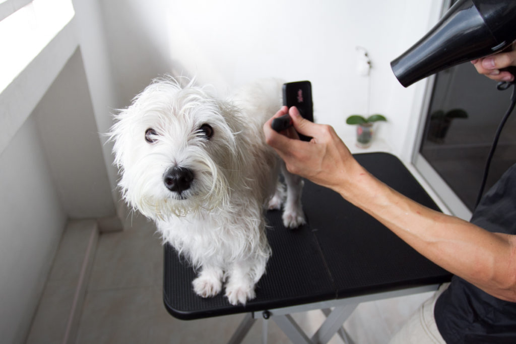 Dog Blow Drying Tips by Likeable Pets | Vanillapup