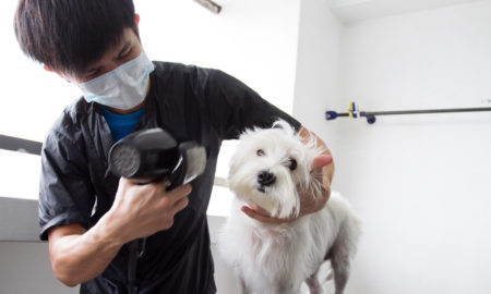Dog Blow Drying Tips by Likeable Pets   Vanillapup