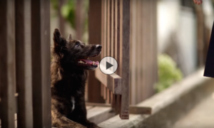 KTB Thai Dog Video Ad   Vanillapup