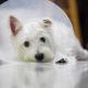 When to sterilise puppy | Vanillapup