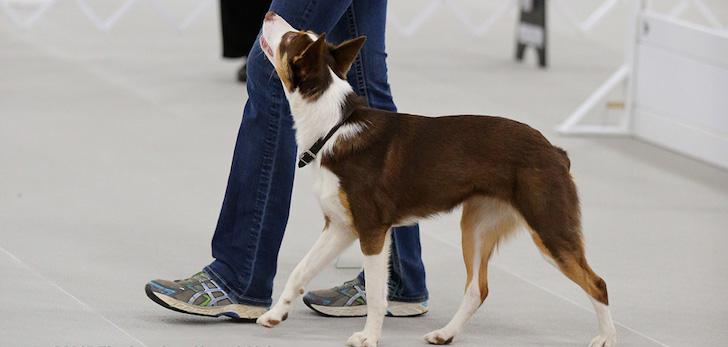 Teaching-Dog-Heeling