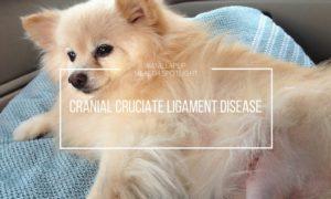 Cranial Cruciate Ligament Disease   Vanillapup