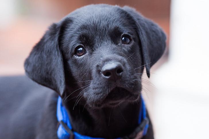 Curious Black Labrador | Vanillapup