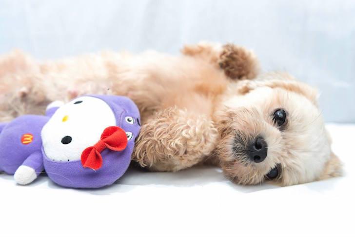 VFA Adoption Dogs | Vanillapup