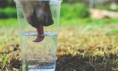 Dog Water Consumption Needs | Vanillapup