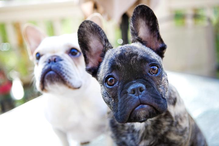 Dog Ears | Vanillapup