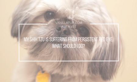 Red Eye in Dogs Shih Tzu | Vanillapup