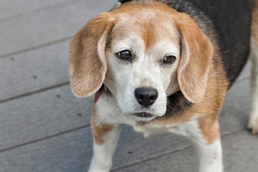 Dog Seizure | Vanillapup