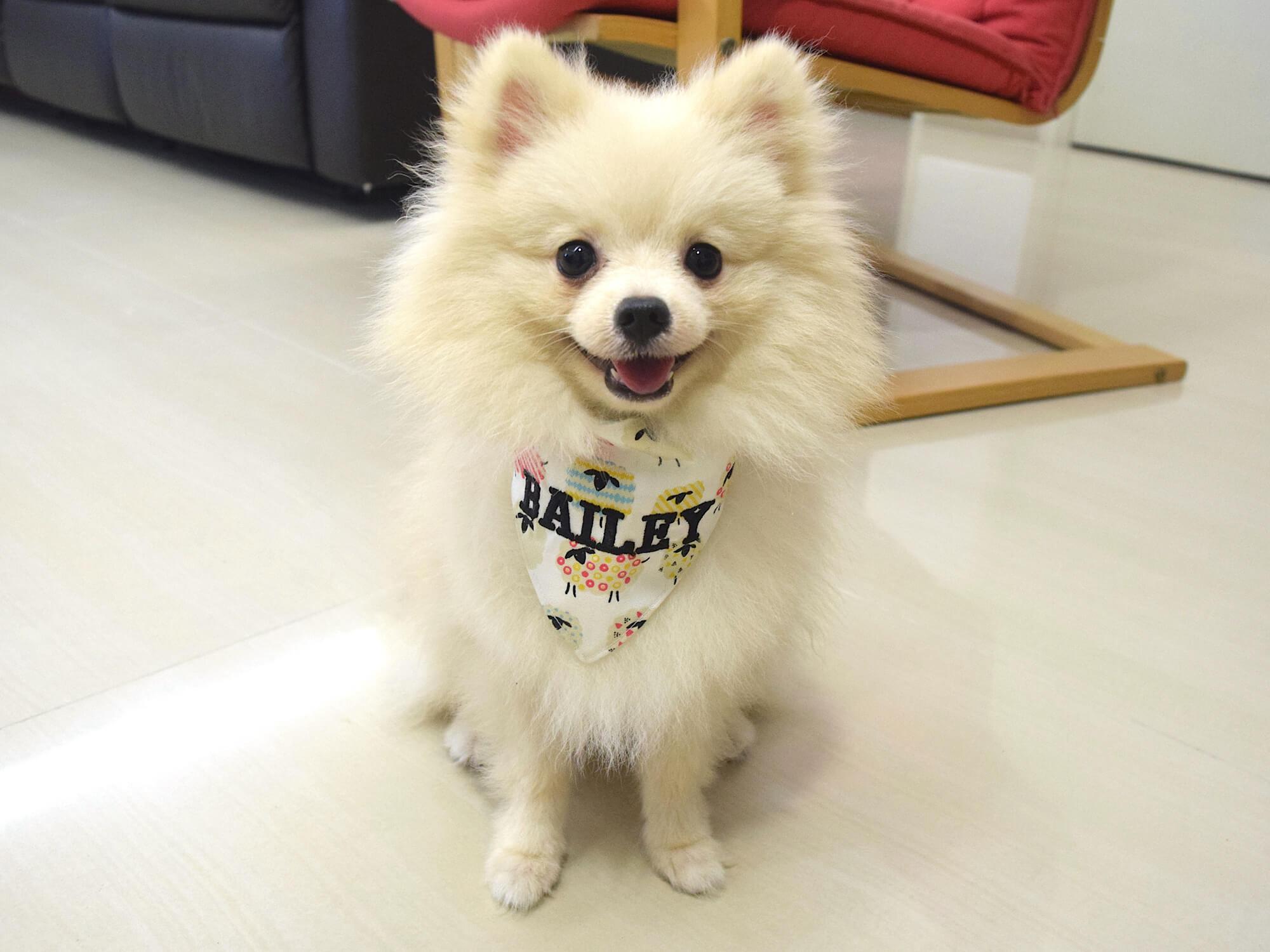 Tailor Woof Pet Bandana   Vanillapup