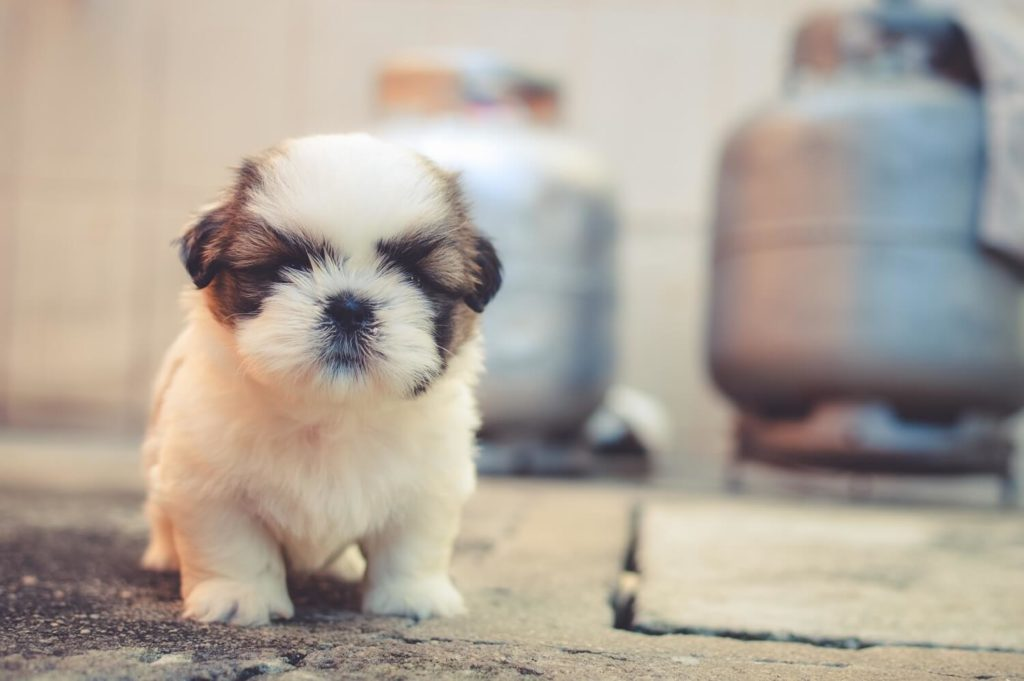 Questions to Ask Before Buying a Puppy From the Breeder| Vanillapup
